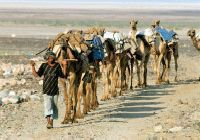 Camel caravan in the Danakil Depression